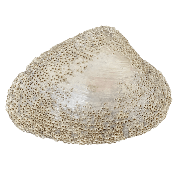 One of a kind Venus Clam Sea Shell with tiny Barnacles in pearl
