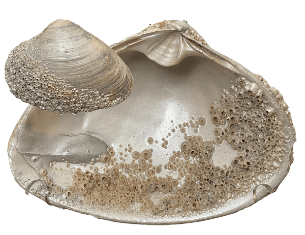 Shell with Barnacles ChrisClineDesign